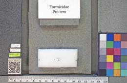 Forelius pruinosus image