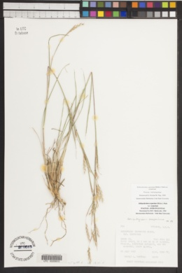 Schizachyrium scoparium image