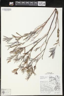Andromeda glaucophylla image