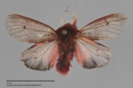 Phragmatobia fuliginosa image