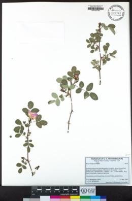 Rosa bridgesii image