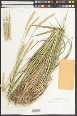 Image of Elymus patagonicus