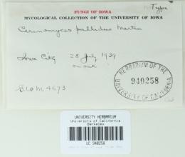 Image of Cerinomyces pallidus