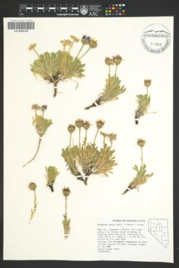Image of Erigeron latus