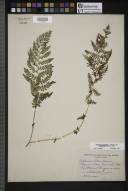 Athyrium filix-femina var. californicum image