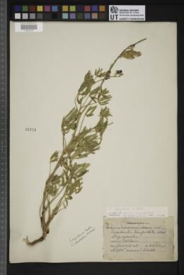 Image of Lathyrus alpestris