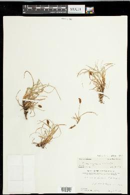 Carex nigricans image