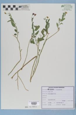 Solanum xanti image