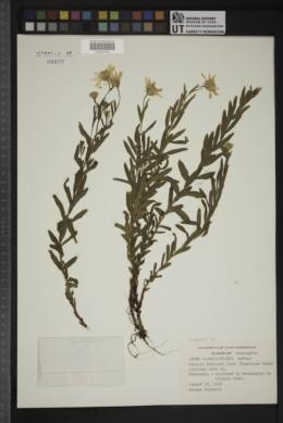 Eucephalus paucicapitatus image