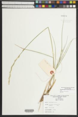 Pseudoroegneria geniculata image