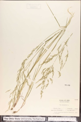 Poa palustris image