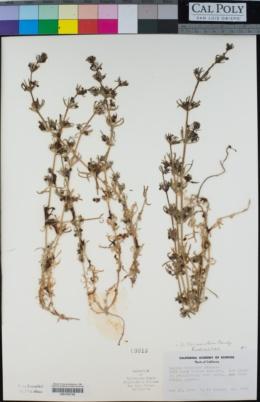 Galium tricornutum image