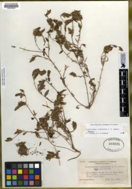 Cordylanthus nidularius image