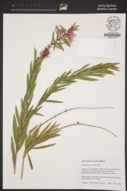Image of Callistemon rugulosus