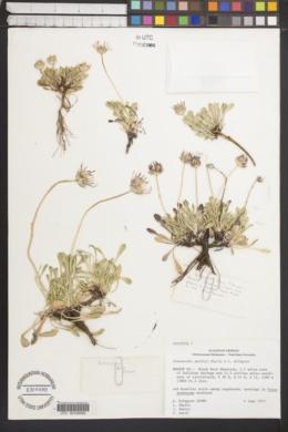 Townsendia smithii image