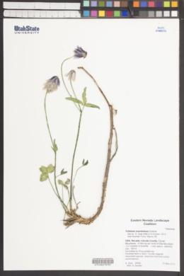 Trifolium kingii subsp. macilentum image
