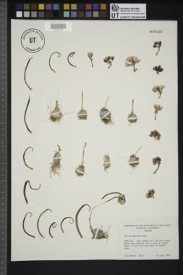 Allium punctum image