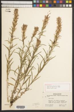 Image of Castilleja elkoensis