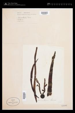 Himanthalia elongata image
