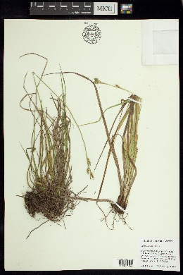 Image of Carex longicaulis