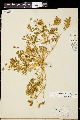 Image of Lupinus trifidus