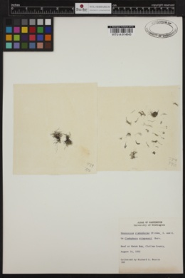 Dermocarpa cladophorae image