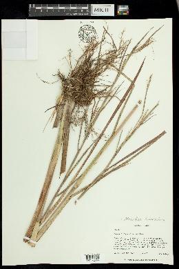 Image of Mnesithea tuberculosa