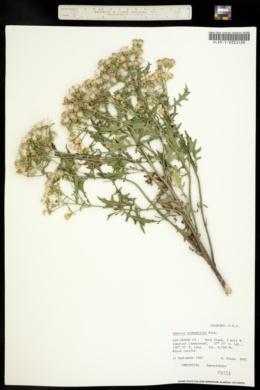Senecio eremophilus image