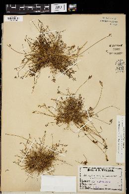 Image of Astragalus quinqueflorus