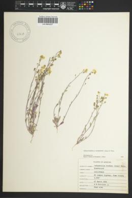 Physaria gordonii image