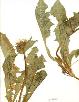 Image of Taraxacum latilobum