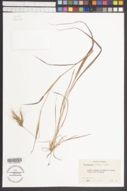 Image of Heteropogon villosus