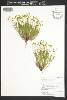 Thymophylla pentachaeta var. belenidium image