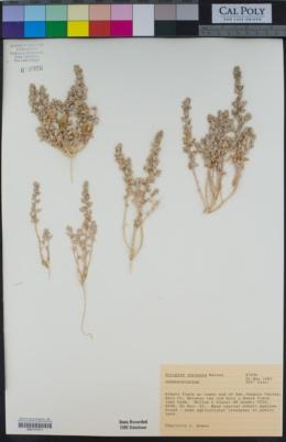 Atriplex coronata image