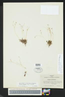 Phemeranthus longipes image