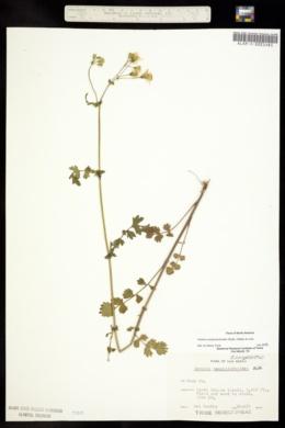 Image of Packera sanguisorboides