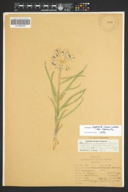 Asclepias asperula subsp. asperula image