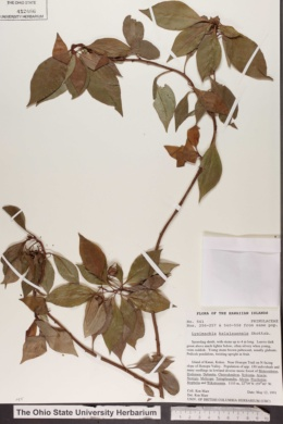 Image of Lysimachia kalalauensis