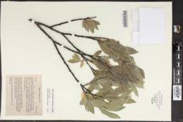 Image of Salix eastwoodiae