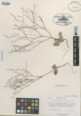 Image of Eriogonum carolinae