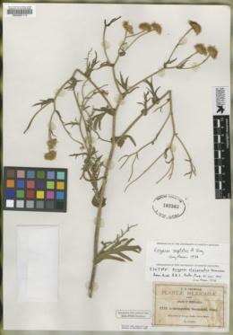 Image of Erigeron alcicornutus