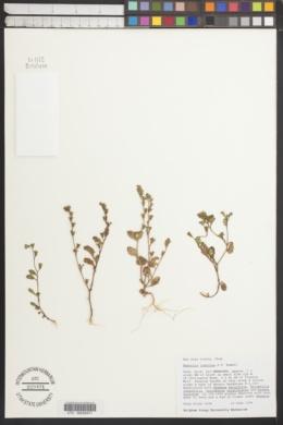 Image of Phacelia indecora