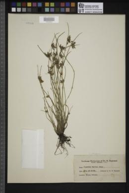 Cyperus setiger image