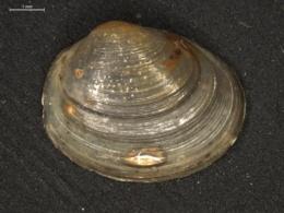 Image of Pisidium amnicum