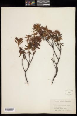 Ledum groenlandicum image