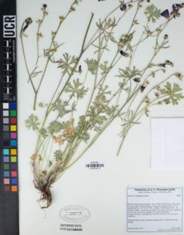 Sidalcea multifida image