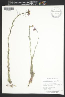 Boechera perennans image