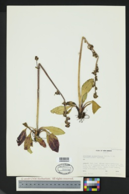 Image of Micranthes hieraciifolia