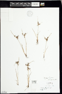 Image of Cyperus fuscus