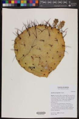Image of Opuntia stenopetala